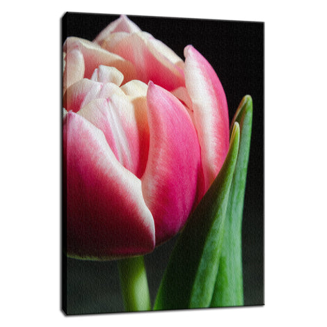 Pink and White Tulip Nature / Floral Photo Fine Art Canvas Wall Art Prints