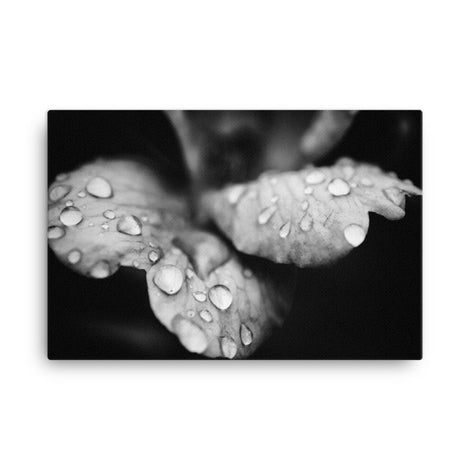 Raindrops on Wild Rose Plant Black and White Floral Nature Canvas Wall Art Prints