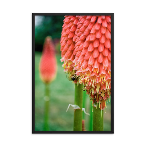 Red Hot Pokers Floral Nature Photo Framed Wall Art Print