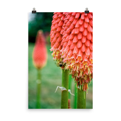 Red Hot Pokers Floral Nature Photo Loose Unframed Wall Art Prints