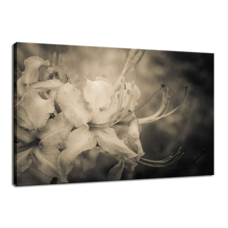 Sepia Aged Rhododendron Blooms Nature / Floral Photo Fine Art Canvas Wall Art Prints
