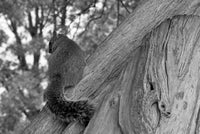 Shy Squirrel Animal / Wildlife Black and White Photograph Fine Art Canvas & Unframed Wall Art Prints  - PIPAFINEART