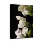 Single Snap Dragon Bloom Against Black Nature / Floral Photo Fine Art & Unframed Wall Art Prints - PIPAFINEART