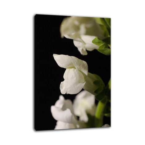 Single Snapdragon Bloom Against Black Nature / Floral Photo Fine Art Canvas Wall Art Prints