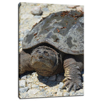 Smiling Turtle Animal / Wildlife Photograph Fine Art Canvas & Unframed Wall Art Prints  - PIPAFINEART
