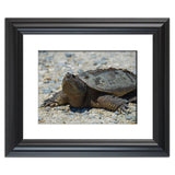 Snapping Turtle Animal / Wildlife Photograph Fine Art Canvas & Unframed Wall Art Prints - PIPAFINEART