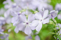Soft Focus Phlox Carolina Nature / Floral Photo Fine Art Canvas Wall Art Prints  - PIPAFINEART