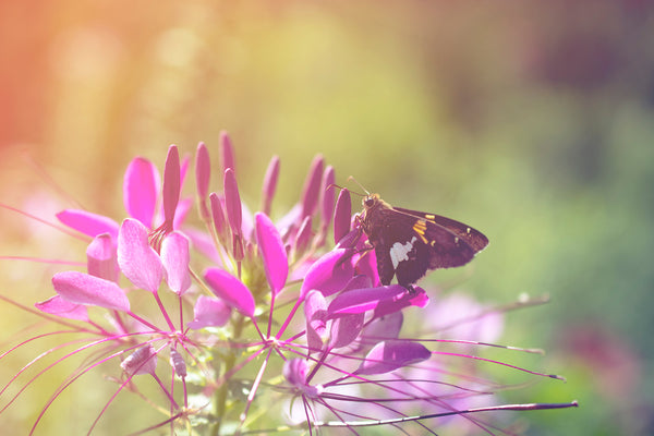 Spider Flower in Glory Light With Spotted Moth - Floral Nature Photography Classic Photo Wall Art Print Unframed