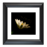 Spotlight on Waterlily - Square Nature / Floral Photo Fine Art & Unframed Wall Art Prints - PIPAFINEART