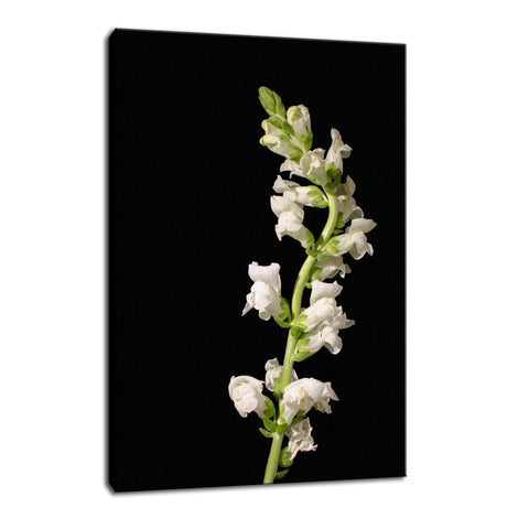 White Snapdragons Against Black Nature / Floral Photo Fine Art Canvas Wall Art Prints