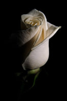 White Rose Low Key Nature / Floral Photo Fine Art Canvas Wall Art Prints  - PIPAFINEART