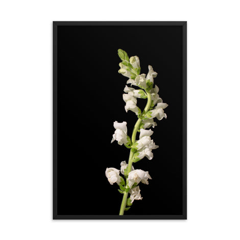 White Snapdragons Floral Nature Photo Framed Wall Art Print