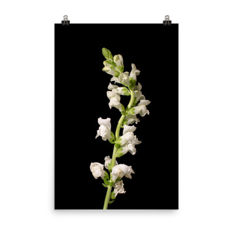 White Snapdragons Floral Nature Photo Loose Unframed Wall Art Prints