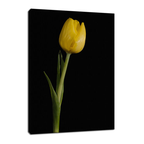 Yellow Tulip on Black Background 5 Nature / Floral Photo Fine Art Canvas Wall Art Prints