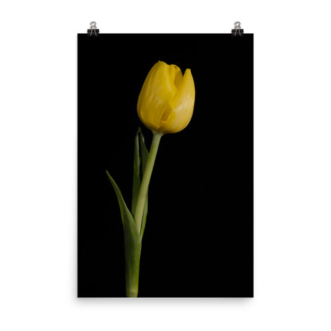 Yellow Tulip on Black Background 5 Floral Nature Photo Loose Unframed Wall Art Prints