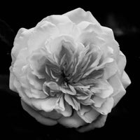 Floral Nature Photograph Alchymist Rose Black and White - Square Fine Art Canvas - Home Decor Wall Art Prints Unframed