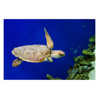 Sea Turtle 1 Animal / Wildlife Photograph Fine Art Canvas & Unframed Wall Art Prints - PIPAFINEART