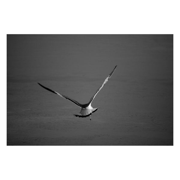 Flying Free Animal / Wildlife Photograph Fine Art Canvas & Unframed Wall Art Prints - PIPAFINEART