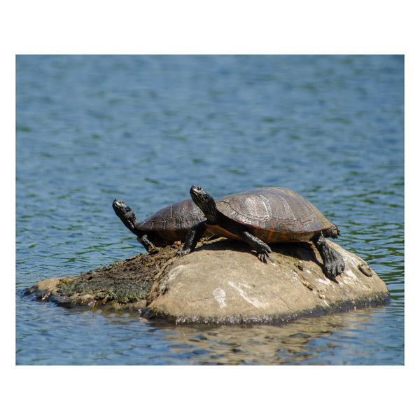 Animal / Wildlife Photograph Sunshine Rock with Turtles - Fine Art Canvas - Home Decor Wall Art Prints Unframed