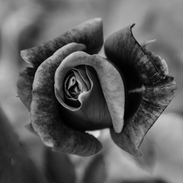 Floral Nature Photograph Prince Albert Rose in Black and White  - Square Fine Art Canvas - Home Decor Wall Art Prints Unframed