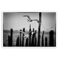 Flying Sea Gull in Black and White Animal / Wildlife Photograph Fine Art Canvas & Unframed Wall Art Prints  - PIPAFINEART