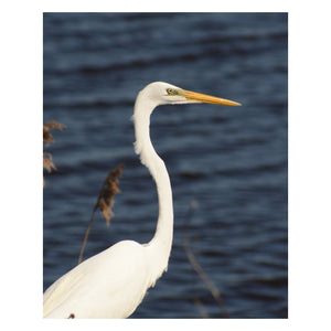 Animal / Wildlife Photograph Great White Egret - Fine Art Canvas - Home Decor Wall Art Prints Unframed