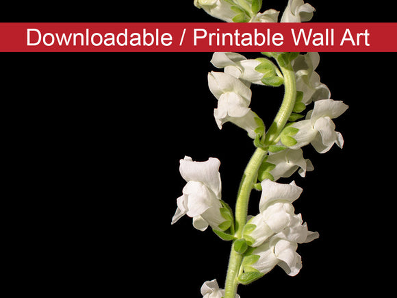 Digital Wall Art, Downloadable Prints, Floral Nature Photograph White Snapdragons Against Black Background - Wall Decor - Printable