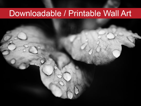 Digital Wall Art, Downloadable Prints, Floral Nature Photograph Raindrops on Wild Rose in Black and White - Wall Decor Instant - Printable