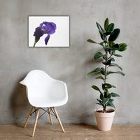 Iris On White Floral Nature Canvas Wall Art Prints 18×24 - PIPAFINEART