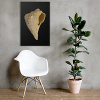 States of Erosion Image 1 Whelk Shell Coastal Nature Canvas Wall Art Prints 24×36 - PIPAFINEART