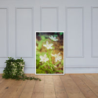 Tranquil Carolina Spring Beauty Floral Nature Photo Framed Wall Art Print White / 24×36 - PIPAFINEART