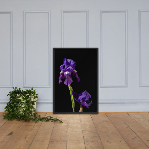 Iris on Black Floral Nature Photo Framed Wall Art Print Black / 24×36 - PIPAFINEART