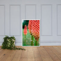 Red Hot Pokers Floral Nature Photo Framed Wall Art Print White / 24×36 - PIPAFINEART