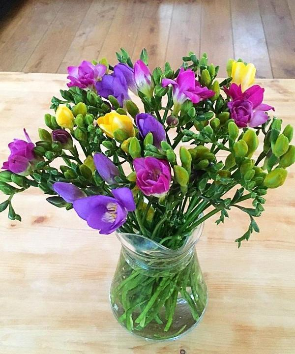 Guernsey Freesias