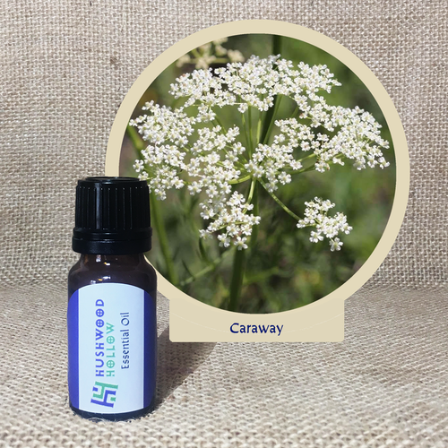 Caraway - Pure Therapeutic Grade Essential Oil - Hushwood Hollow