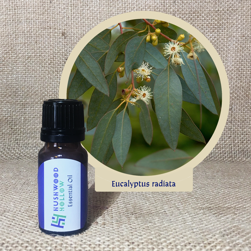 Eucalyptus radiata - Pure Therapeutic Grade Essential Oil - Hushwood Hollow