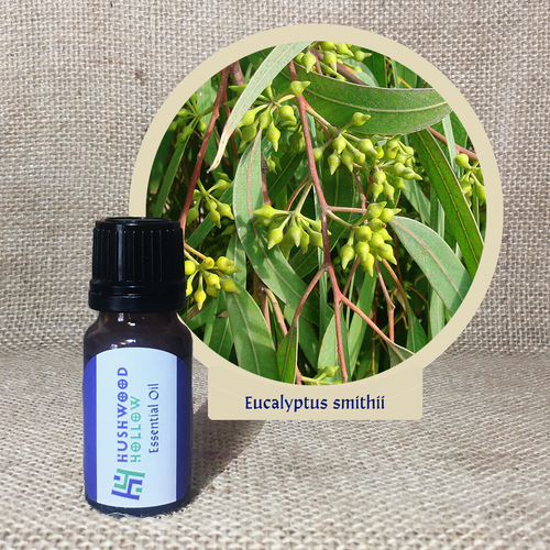 Eucalyptus smithii - Pure Therapeutic Grade Essential Oil - Hushwood Hollow
