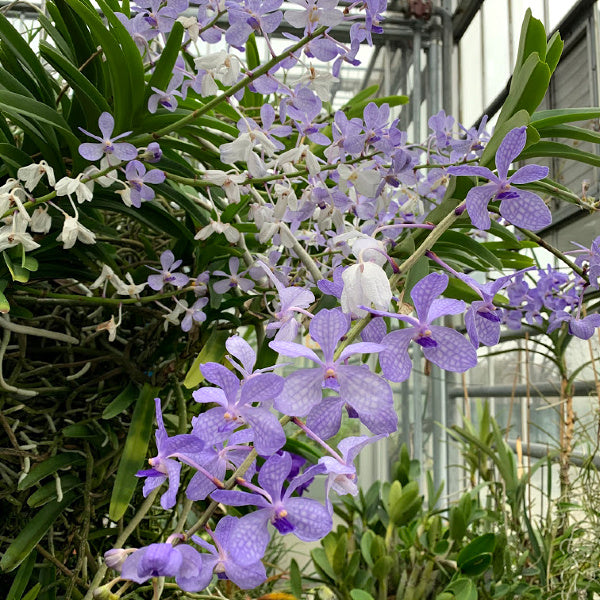 NEWS | Sneak Peek into The New York Botanical Garden 2020 Orchid Show