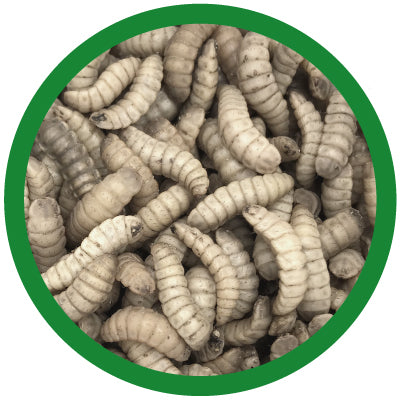 black soldier fly larvae large