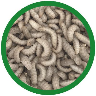 black soldier fly larvae medium