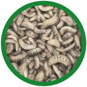 black soldier fly larvae small