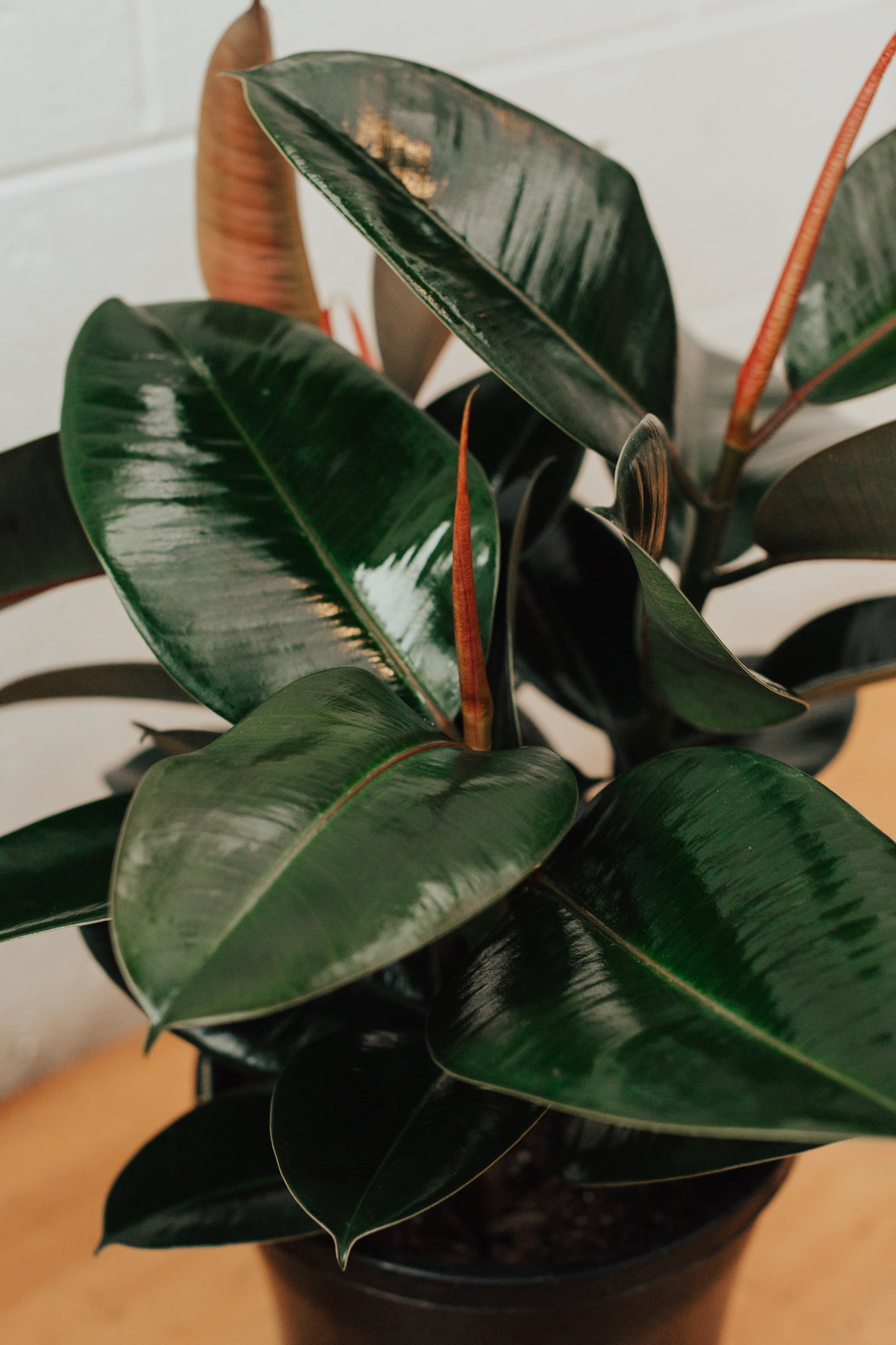 Ficus Robusta (Rubber Plant)