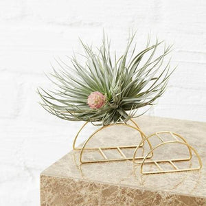 Ivy Muse - Taco Air Plant Holder
