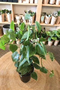 Heart Leaf Philodendron - XLarge