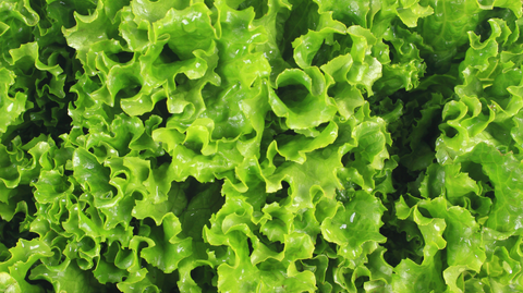 closeup of romaine lettuce