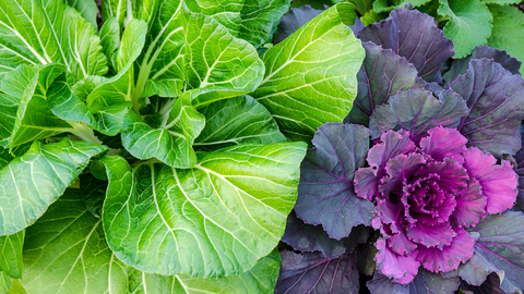 Closeup of Bok Choy and ornamental cabbage