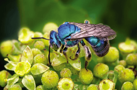 Why Are Mason and Leafcutter Bees Superior Pollinators?