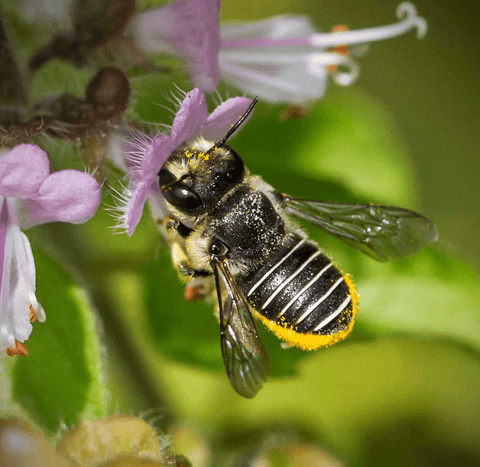 Are Mason and Leafcutter Bees Really Gentle and Easy to Raise?