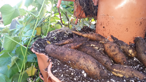 closeup of root vegetables being harvested in a vertical vegetable garden