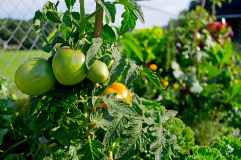 closeup of tomatoes growing on a Garden Tower®